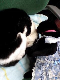 看護猫ラビにゃん