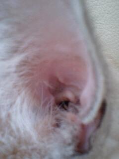 ねこ耳の穴