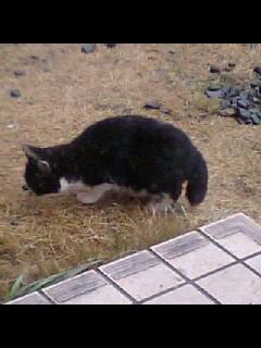 タキシード子猫