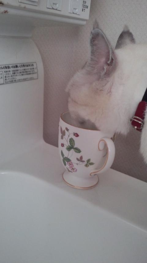 ウェッジウッドのカップで水を飲む猫