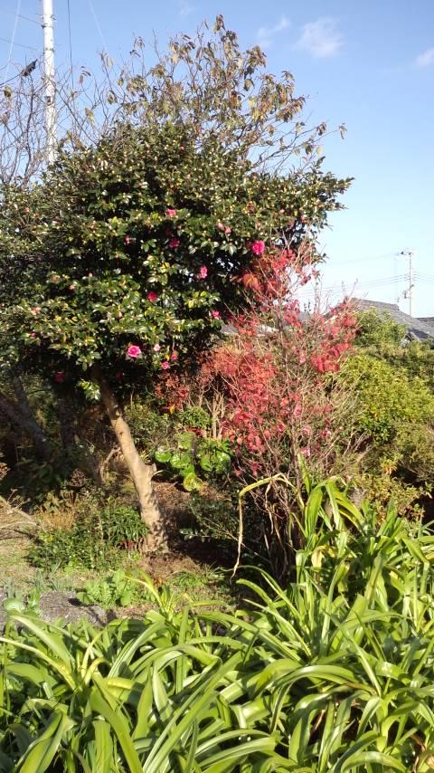 山茶花の木の下に
